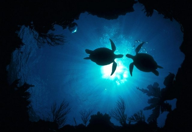Oceanic-Tranquility---Water-Turtles-1